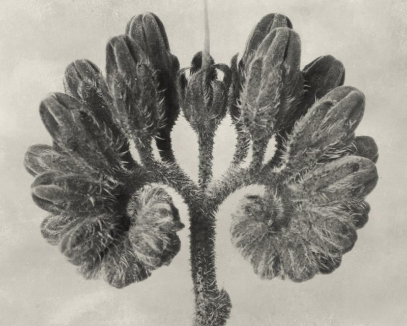 Blossfeldt Botanical VIII
