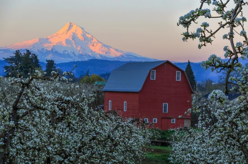 Hood River Pear Blossom with Mt. Hood